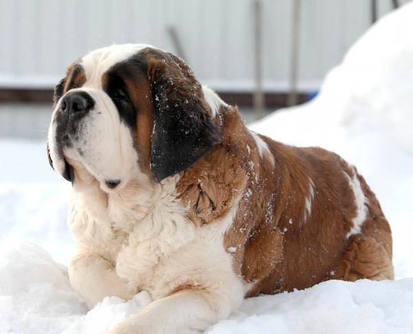 сенбернар лежит на снегу