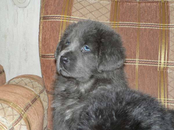 тибетский мастиф серый