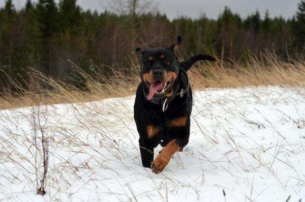 Ротвейлер бежит по снегу