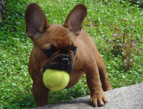 французский бульдог с мячиком