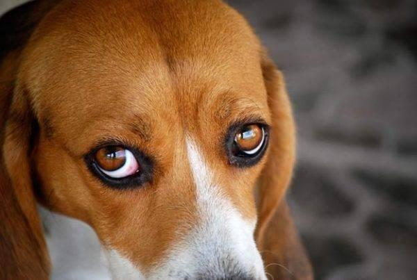 красные глаза у бигля