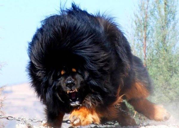 тибетский мастиф бежит