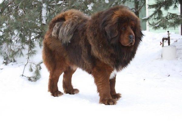 Тибетский мастиф: фото собаки, цена, описание породы, характер, видео
