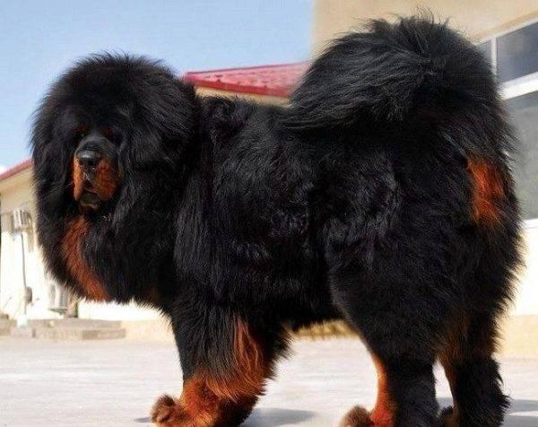 тибетский мастиф черно-подпалого цвета