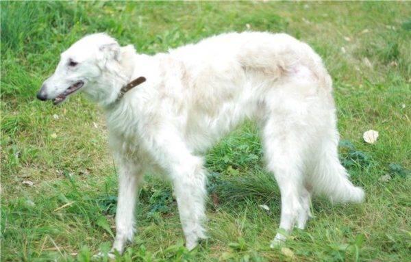 Русская псовая борзая белая