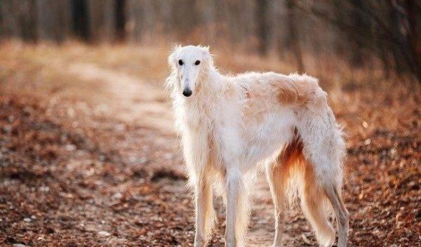 русская псовая борзая в лесу