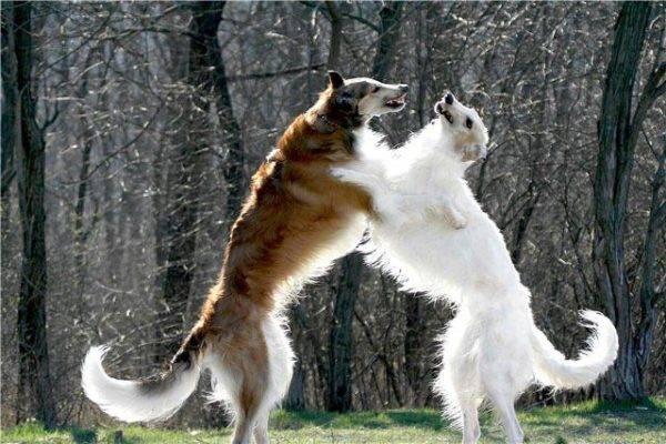 две русских псовых борзых