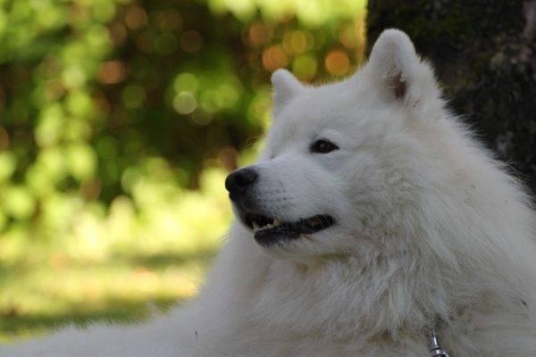 красивая самоедская собака лежит