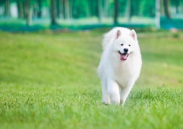 милая самоедская собака