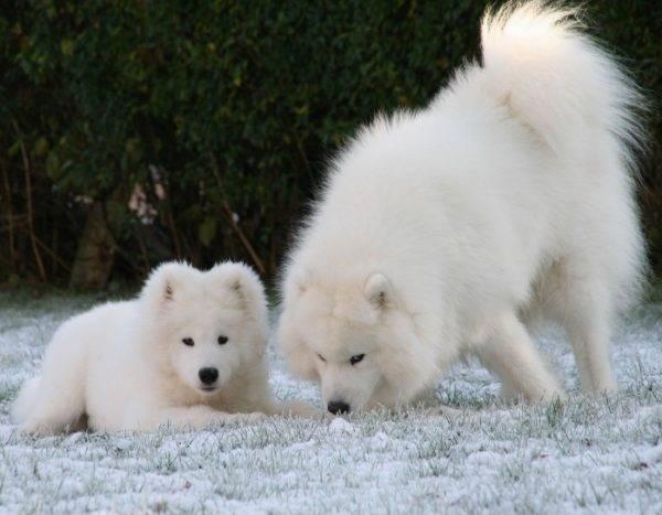 две самоедские собаки