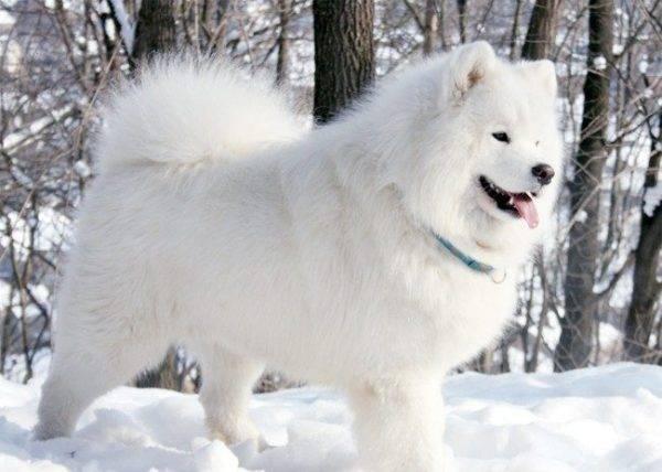 Самоедская собака гуляет по снегу