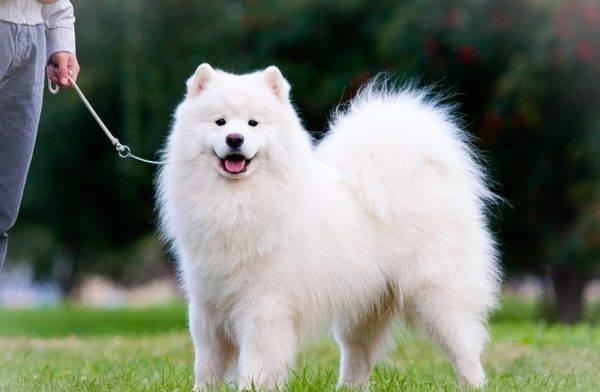 Самоедская собака в парке
