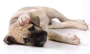 грустная собачка на белом фоне