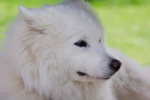 самоедская собачка отдыхает