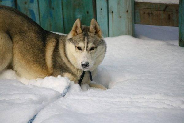 Сибирский хаски соболиный окрас