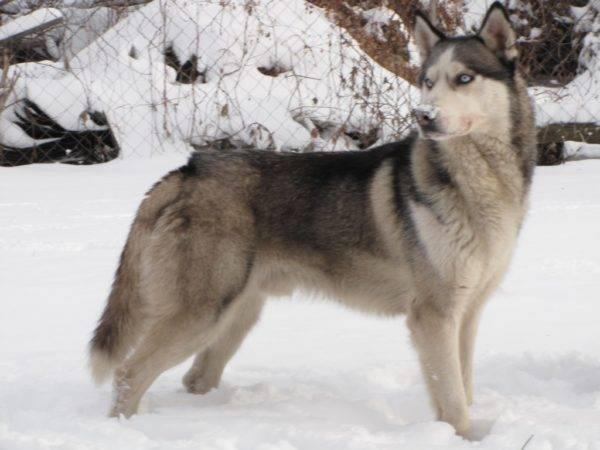 Сибирский хаски с волчьим окрасом