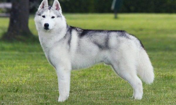 Сибирский хаски с серебристо-белой шестью