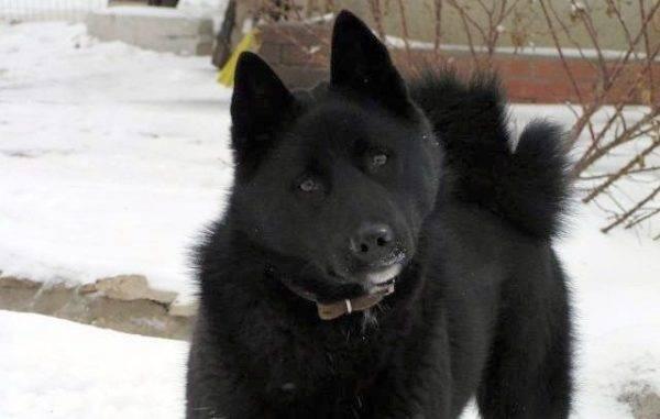 сибирский хаски чёрный