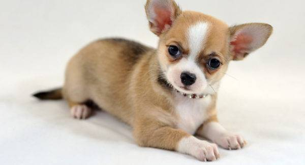 Собаки для квартиры: лучшие породы, которые удобно держать в домах ... | 324x600
