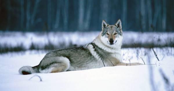 Чехословацкая волчья собака зимою