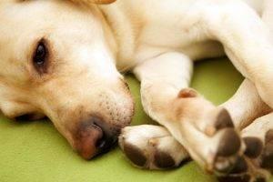 артроз у собачки