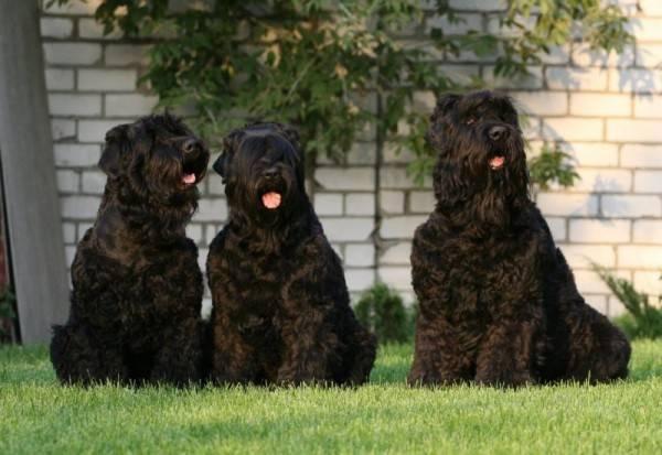 три черных терьера