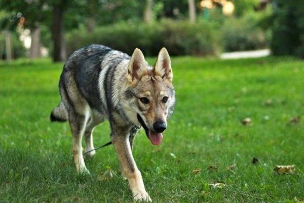 Чехословацкая волчья собака в парке