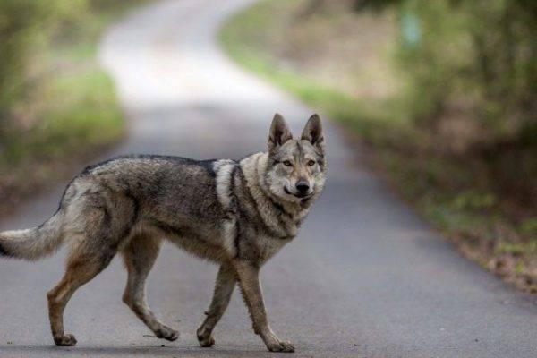 Чехословацкая волчья собака на дороге
