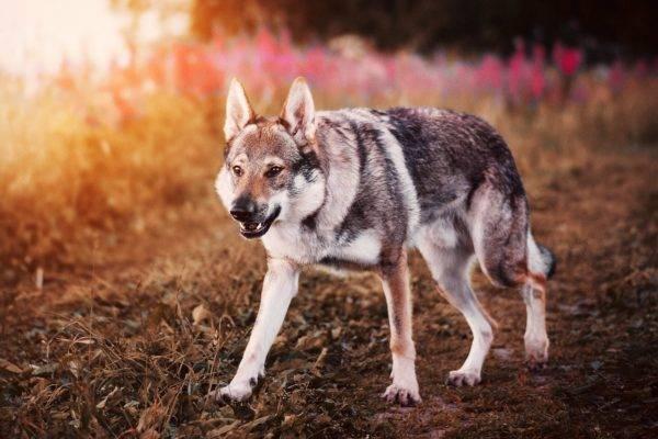 Чехословацкая волчья собака на красивом фоне