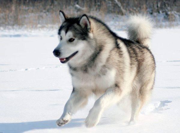 породы собак с фотографиями и названиями алабай