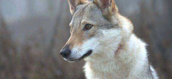 Изумительная чехословацкая волчья собака