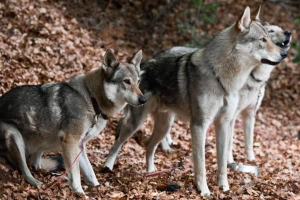 Три чехословацкие волчьи собаки