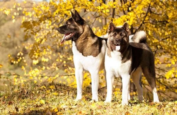Американский акита собака фото
