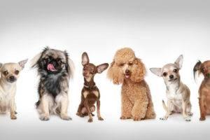 много декоративных собачек