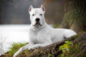 охранная собака