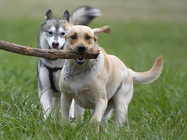 собачка несёт палочку