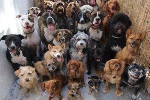 много больших собак