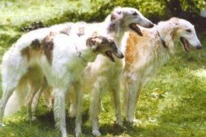 три борзые собаки