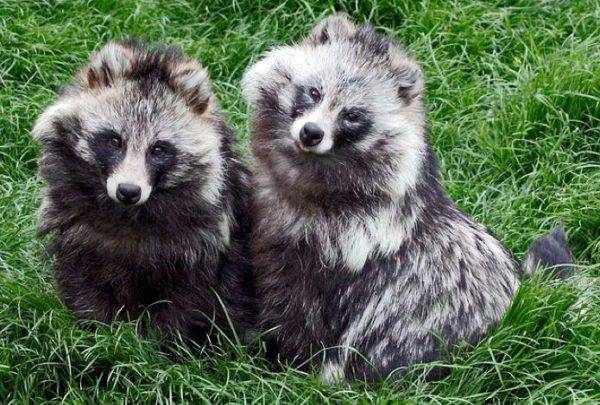 две миленькие енотовидные собачки