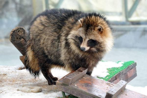 енотовидная собачка в зоопарке