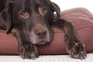 Крипторхизм у собак