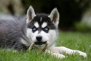 миленький щенок хаски