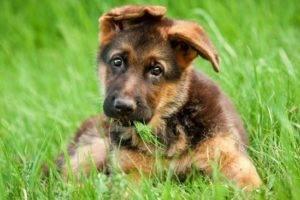 щенок немецкая овчарка