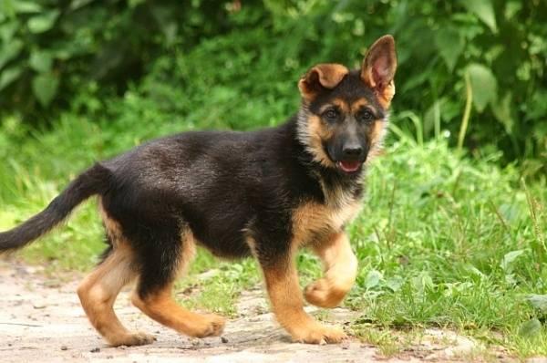 щенок немецкой овчарки команда гулять