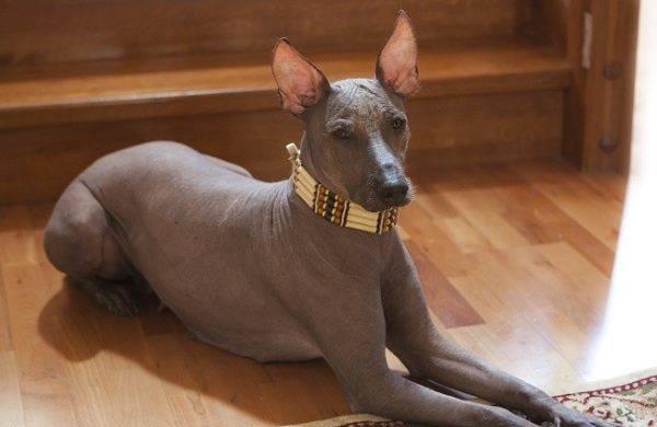 Породы лысых собак с фотографиями и названиями