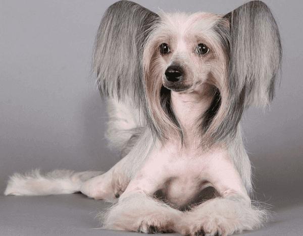 Китайская голая хохлатая собака