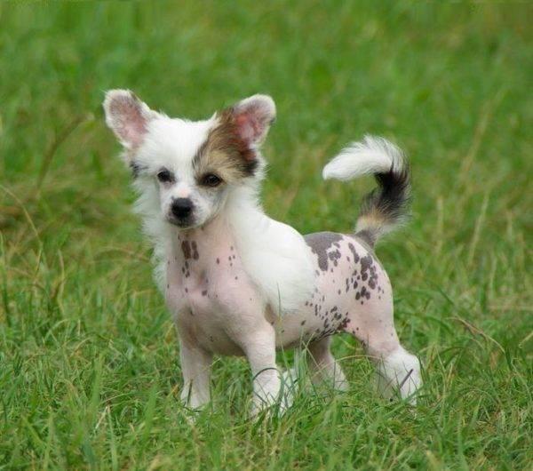 Китайская голая хохлатая щенок