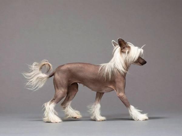 красивая китайская голая хохлатая собака