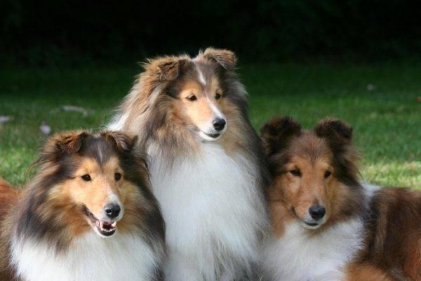 три миленьких шелти