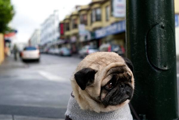 грустный мопс